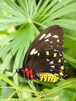 Female Cairns Birdwing, Australia's Biggest Butterfly