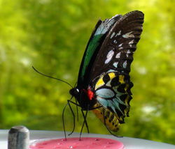 Male Cairns Birdwing, Australia's Biggest Butterfly