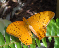 Orange Cruiser Butterfly at Coffs Butterfly House