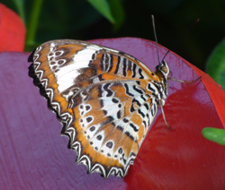 Orange Lacewing Butterfly at Coffs Butterfly House