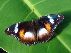 Female Varied Eggfly Butterfly at Coffs Butterfly House