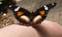 Female Varied Eggfly Butterfly on Leanne's Arm