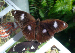 Male Varied Eggfly Butterfly at Coffs Butterfly House