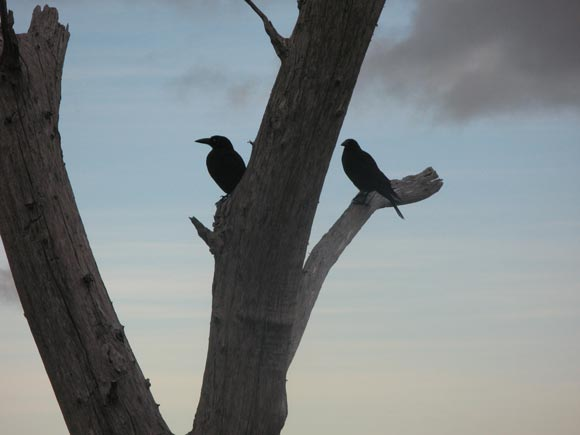 Friendly Black Currawong Birds on Sphinx Rock, Hobart