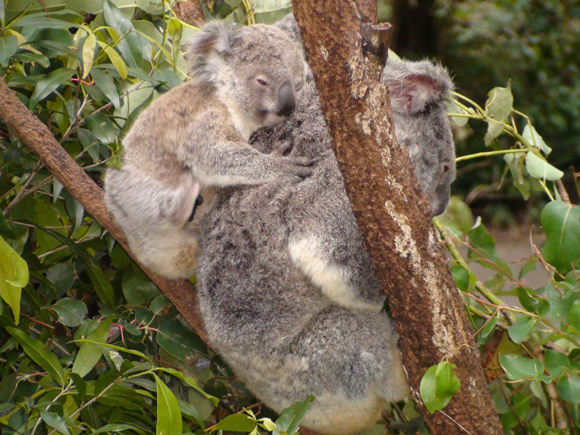 Baby Koala Currumbin Wildlife Sanctuary